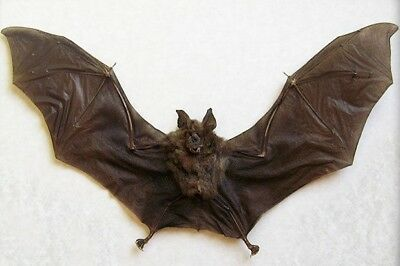Brown Hipposideros Larvatus Leaf Nosed Spread Bat Indonesian Taxidermy Fast Ship