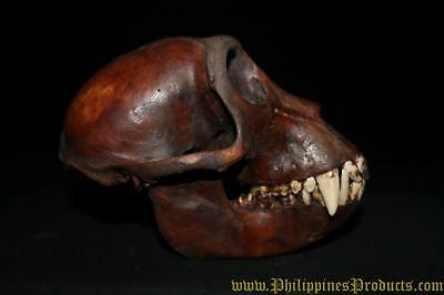 REAL Monkey Skull Macaca Fascicularis Philippines Tribal Trophy 1900's RARE #110