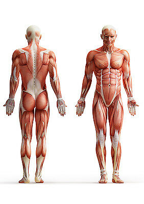 Muscle Layout of The Human Body Medical Anatomy MLH01 Poster PRINT A1 A3 A4