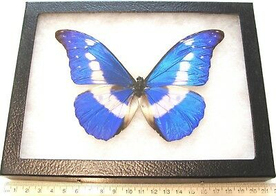 Real Framed Butterfly Blue White Morpho Rhetenor Helena Male