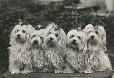 Vintage Photo~5 Beautiful Maltese Puppy Dogs with Bows in Hair~NEW Lg Note Cards