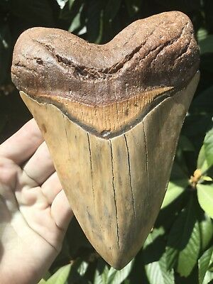"Huge Beautiful 6 1/8"" Megalodon Tooth Fossil Shark Teeth Weighs Over 1 Lb"