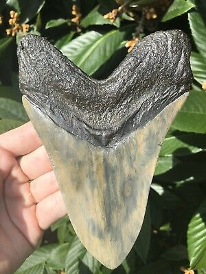 "Huge Beautiful 5 7/16"" Megalodon Tooth Fossil Shark Teeth"