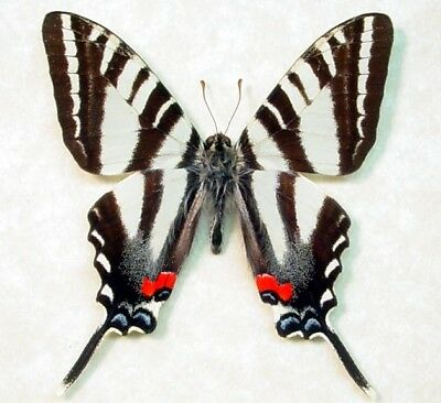 One Real Butterfly Protographium Marcellus Zebra Swallowtail Wings Closed