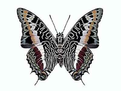 One Real Butterfly White Black Red Charaxes Brutus Verso Africa Wings Closed
