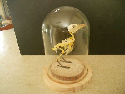 Taxidermy real bird skeleton Yellow vented bulbul  glass dome science ornament