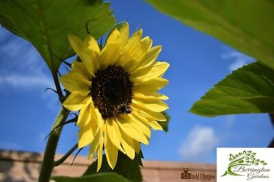 Beautiful Sun Flower Seed Mixture 10grams+ 150 Seeds+ Organic