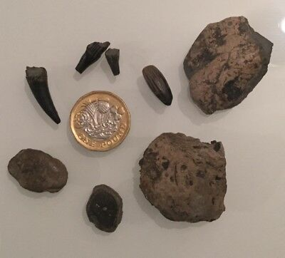 Assorted Ichthyosaur Fossil, Teeth, Paddle Digit, Coprolite, Lyme Regis