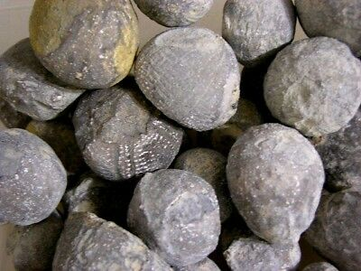 Sea urchin fossil 165 million year old 3 fossil lot bigger 1 inch plus  N.Africa