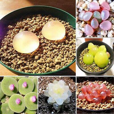 100pcs Real Rare Succulent Seeds Pseudotruncatella Living Stone Lithops Seeds