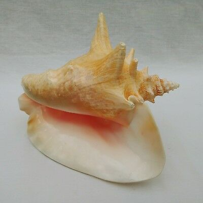 """Conch Shell Large Pink 8"""" By 7"""" With Horns"""