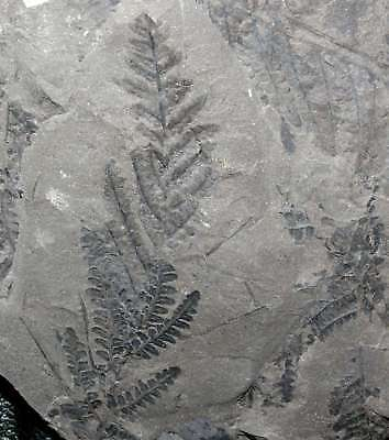Beautiful, big Pecopteris Carboniferous fossil fern
