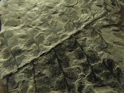 Rare Eusphenopteris Fern Fossil from the Carboniferous Pennsylvanian Period