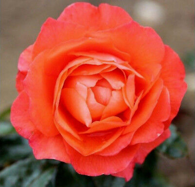 Floribunda Rose Bare Root Plant 'For You With Love' Double Orange Roses