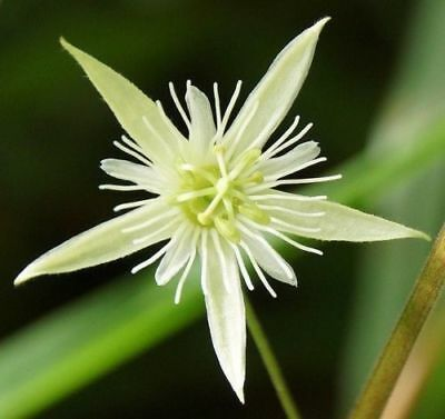 Passiflora capsularis Fragrant White Passion Flower 20 Seeds Climber UKFreeP
