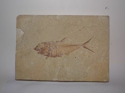 ANTIQUE FISH FOSSIL-GREEN RIVER WYOMING? 5x8 inch-FOSSILIED-(#1)NR