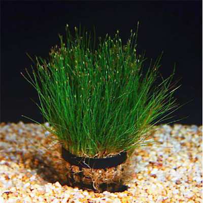100PCS Eleocharis Parvula Seed Live Aquatic Plant Stem Water Aquarium Grass