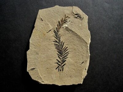 Premium Dawn Redwood (Metasequoia) Fossil Leaf from Montana!!