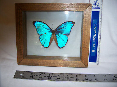 Gorgeous Blue Morpho Butterfly In Double Glass And Handcrafted Frame