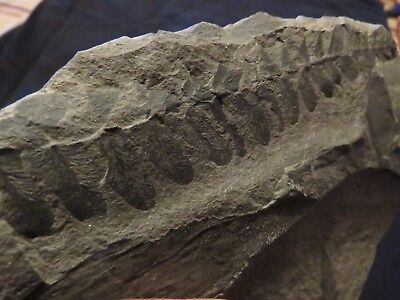 Rare Pecopteris Fern Fossil from the Carboniferous Pennsylvanian Period