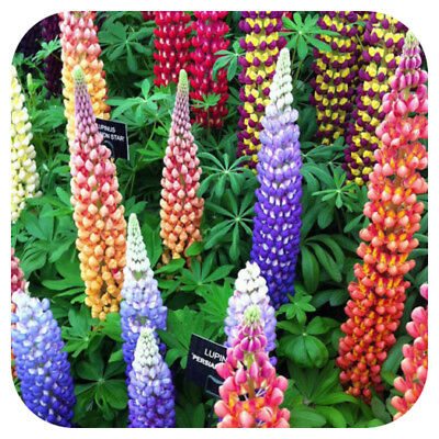 Lupin-Lupine Gallery Mixed x 6 Perennial Plug Plants