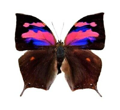 One Real Butterfly Pink Purple Anaea Nessus Peru Unmounted Wings Closed