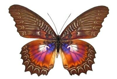 One Real Butterfly Pink Purple Cethosia Myrina Indonesia Unmounted Wings Closed
