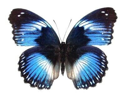 One Real Butterfly Blue Hypolimnas Salmacis Unmounted Wings Closed