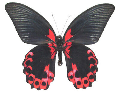 One Real Butterfly Red Black Papilio Rumanzovia Philippines Wings Closed