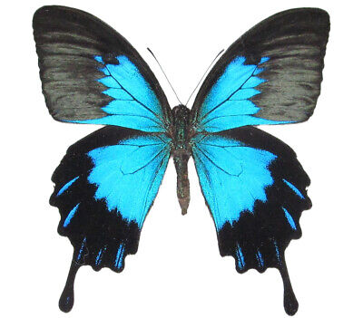 One Real Butterfly Blue Black Papilio Ulysses Telegonus Unmounted Wings Closed