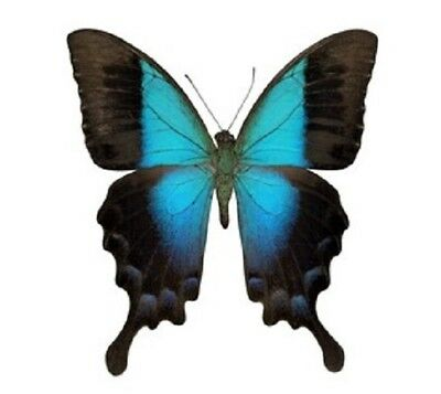 One Real Butterfly Papilio Pericles Blue Green Indonesia Unmounted Wings Closed