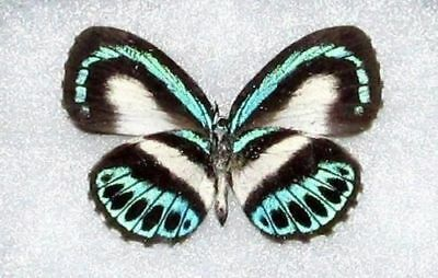One Real Butterfly Blue Green Danis Indonesia Unmounted Wings Closed