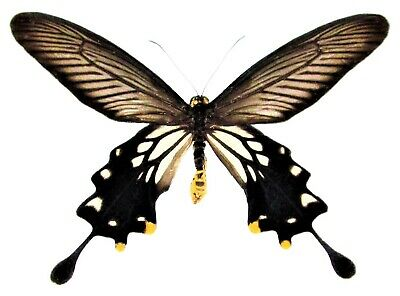 One Real Butterfly Black Gold Atrophaneura Coon Indonesia Unmounted Wings Closed