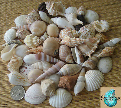 1/2 Lb+ Small Medium To Medium Sea Shell Lot - Nice Variety