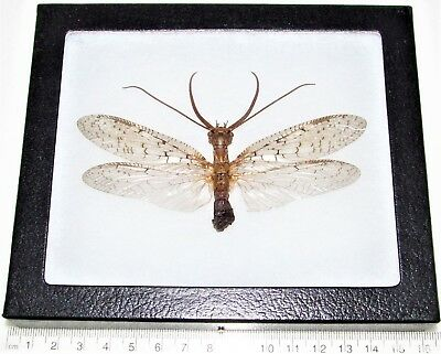 Real Framed Insect Dobsonfly Antlion Indiana D2
