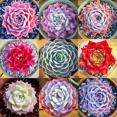 400pcs Mixed Home Plant Succulent Seeds Succulents Living Stones Plants Cactus