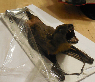 Cynopterus Sphinx Real Hanging Back Bat Indonesia Taxidermy