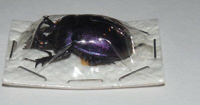 Male Enoplotrupes Sharpi Earthe Boring Beetle Real Insect Peru Taxidermy