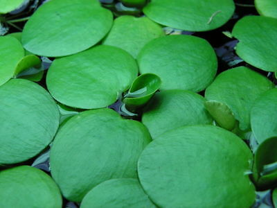 Limnobium laevigatum Amazon Frogbit Floating Aquatic Plant Fish Shrimp Aquarium