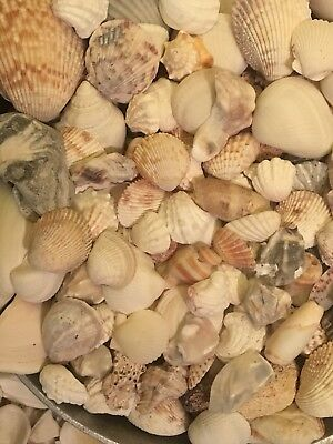 Assorded Florida Sea Shells 2.2 LB With A Few Extra