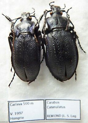 Carabus  catenulatus (pair A1) from HUNGARY (Carabidae)