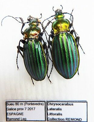 Carabus chrysocarabus lineatus lateralis littoralis (pair A1) from SPAIN