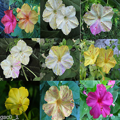 Mirabilis jalapa, Galán, Dondiego de Noche, marbled beauty of the night 20 Seeds