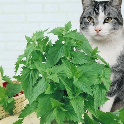 400pcs Catnip Seeds Catmint Nepeta Cataria Organic Home Garden Herb Plant Seed
