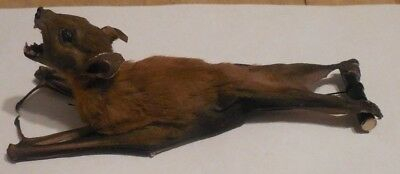 Cynopterus Brachyotis Real Hanging Back Bat Indonesia Taxidermy