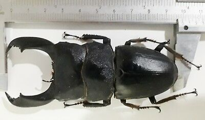 Dorcus titanus typhon 98mm from Peleng Indonesia