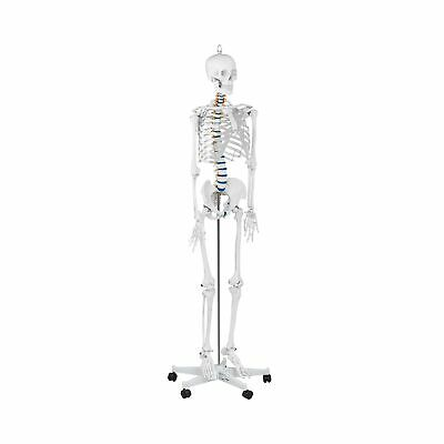 Human Skeleton Model Anatomical Model Educational Life-Sized 176 cm 1:1 Scale