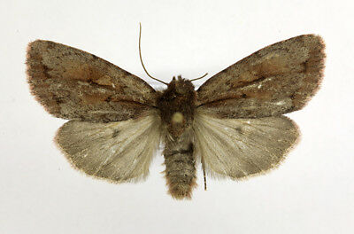 Xestia brunneopicta Noctuidae moth from Russian Far East, mounted
