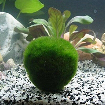 1X 4cm Giant Marimo Moss Ball Cladophora Live Aquarium Plant Fish Aquarium Decor