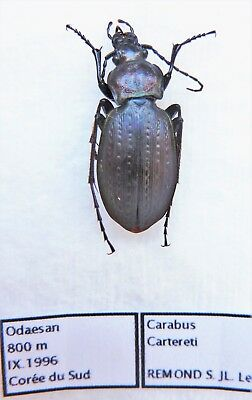 Carabus cartereti (female A1) from SOUTH KOREA (Carabidae)